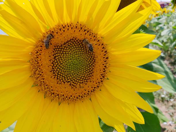 Die Sonnenblume und die Bienen stock photo
