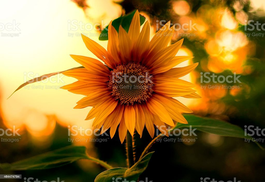 ''The Sunflower in Love with Sunset'' stock photo