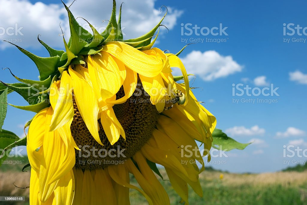 The sunflower royalty-free stock photo