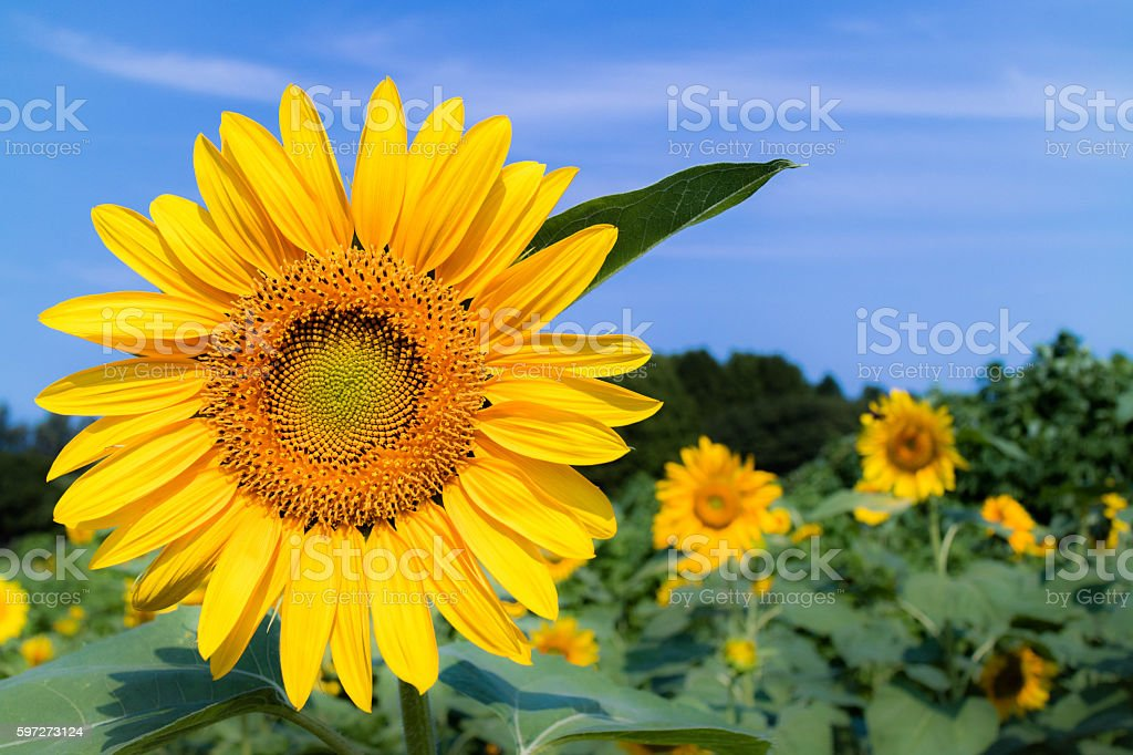 The sunflowers have become perfect for viewing. photo libre de droits