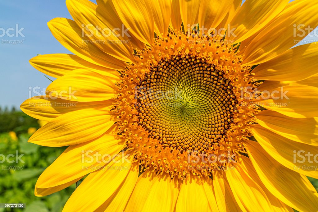 The sunflowers have become perfect for viewing. royalty-free stock photo