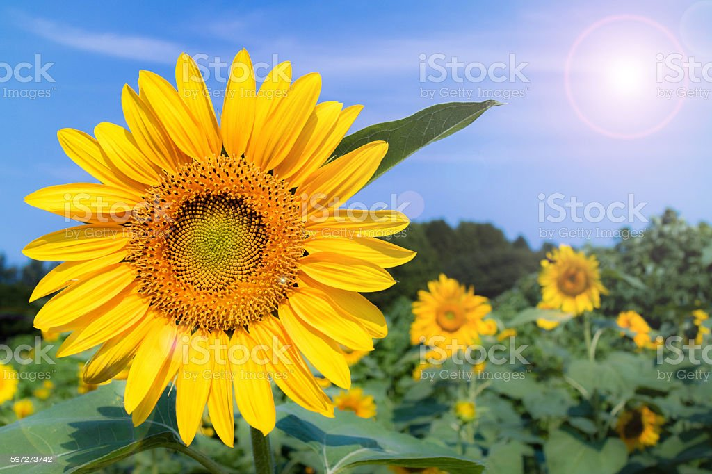 The sunflowers have become perfect for viewing. Lizenzfreies stock-foto