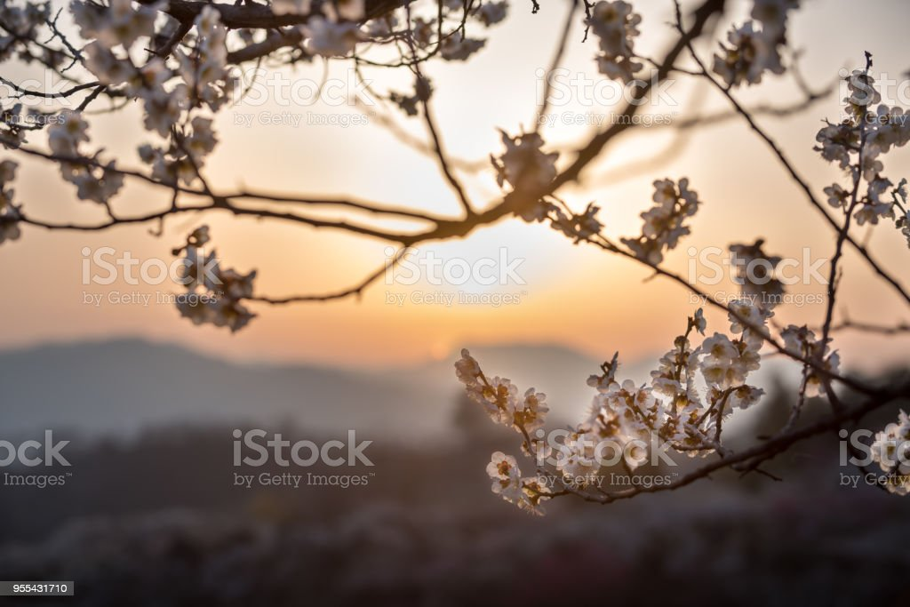 The sunrise of plum farms - Zbiór zdjęć royalty-free (Bakłażan)