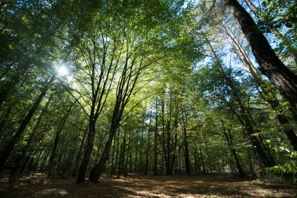The sun's rays make their way through the green foliage of the forest stock photo
