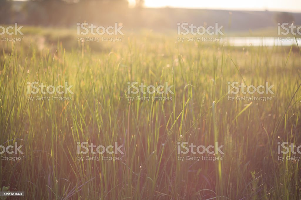 The sun's rays over the green grass. A yellow flare in the frame zbiór zdjęć royalty-free