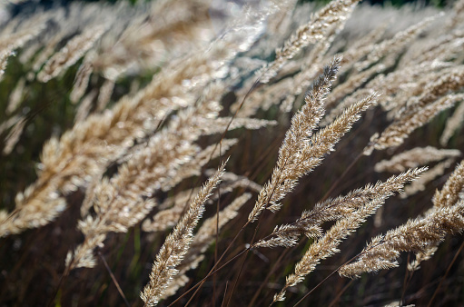 The sun's rays sparkle in the beautiful yellow dry spikelets of wild grass.