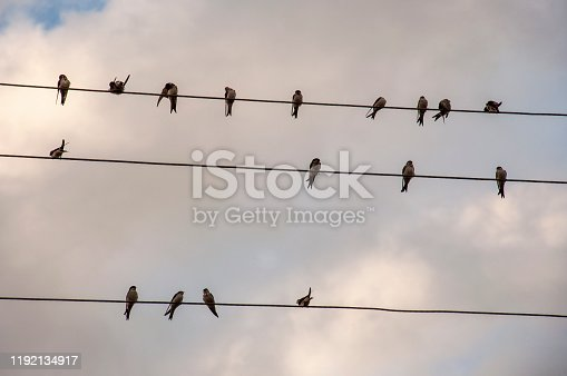 The swallows birds are sitting on the electric wires on the background with bright blue sky