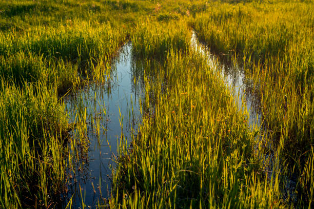 The swamp The swamp in the middle of the clearing sycamore tree stock pictures, royalty-free photos & images