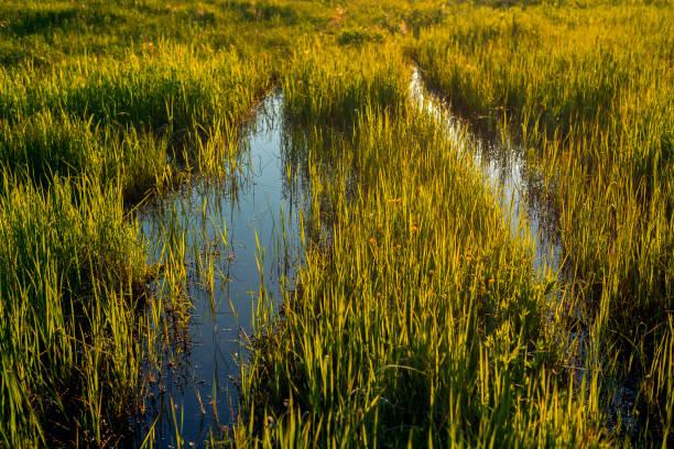 the swamp - mokradło zdjęcia i obrazy z banku zdjęć