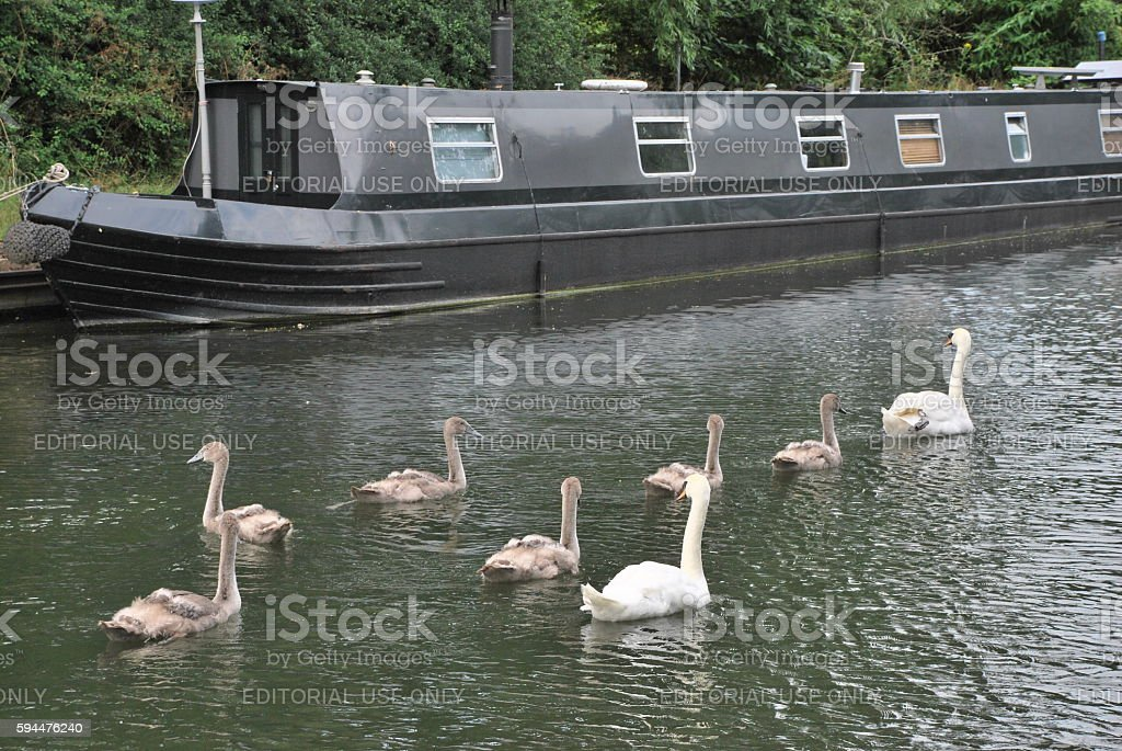 The Swans and the Boat stock photo
