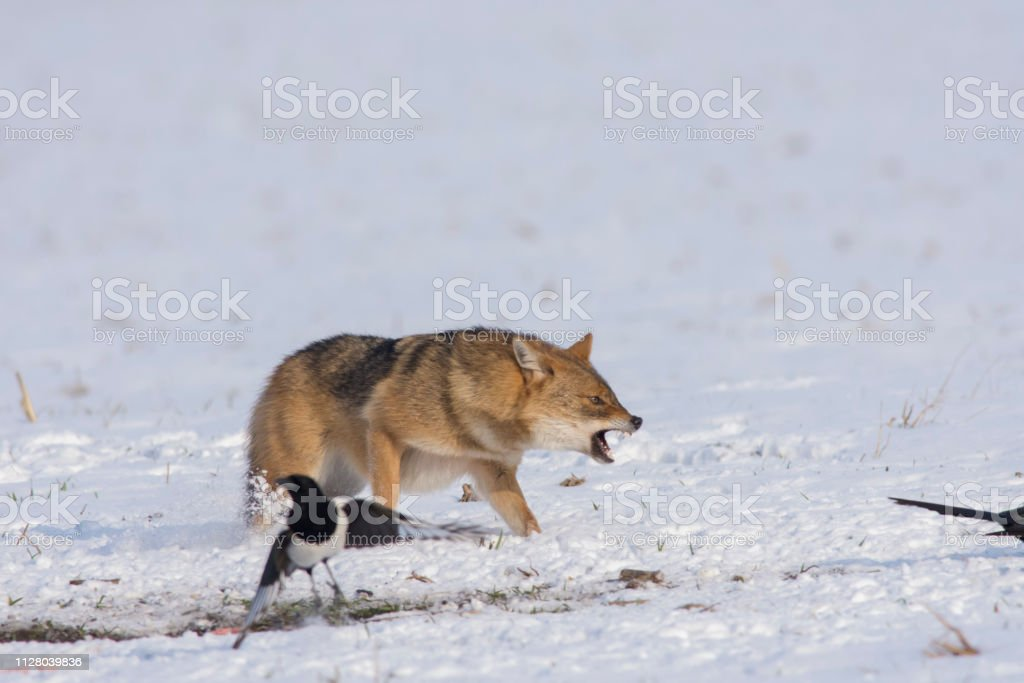 The swift, angry waiting of an attacking bird in deep snow in the winter stock photo