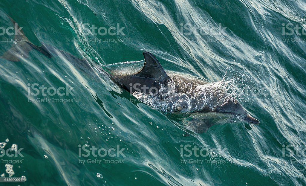 The swimming dolphin in the ocean stock photo