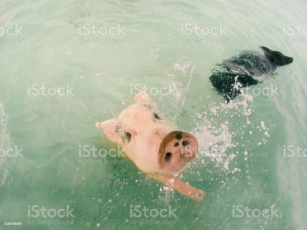 The Swimming Pigs In Caribbean Sea Stock Photo & More