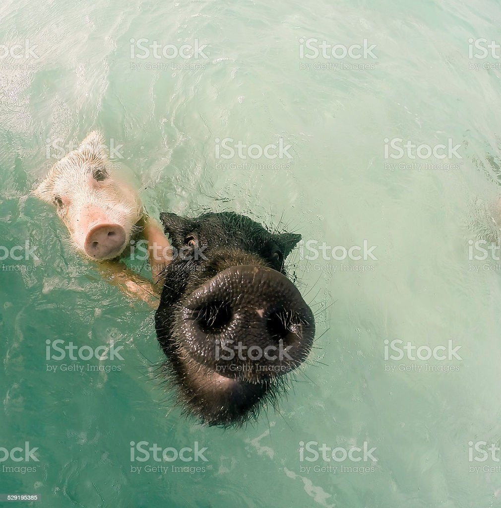 The Swimming Pigs In Caribbean Sea Stock Photo - Download