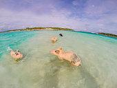 The swimming pigs in caribbean sea of Exuma Island (Big Major Cay - Bahamas) - Fisheye lens