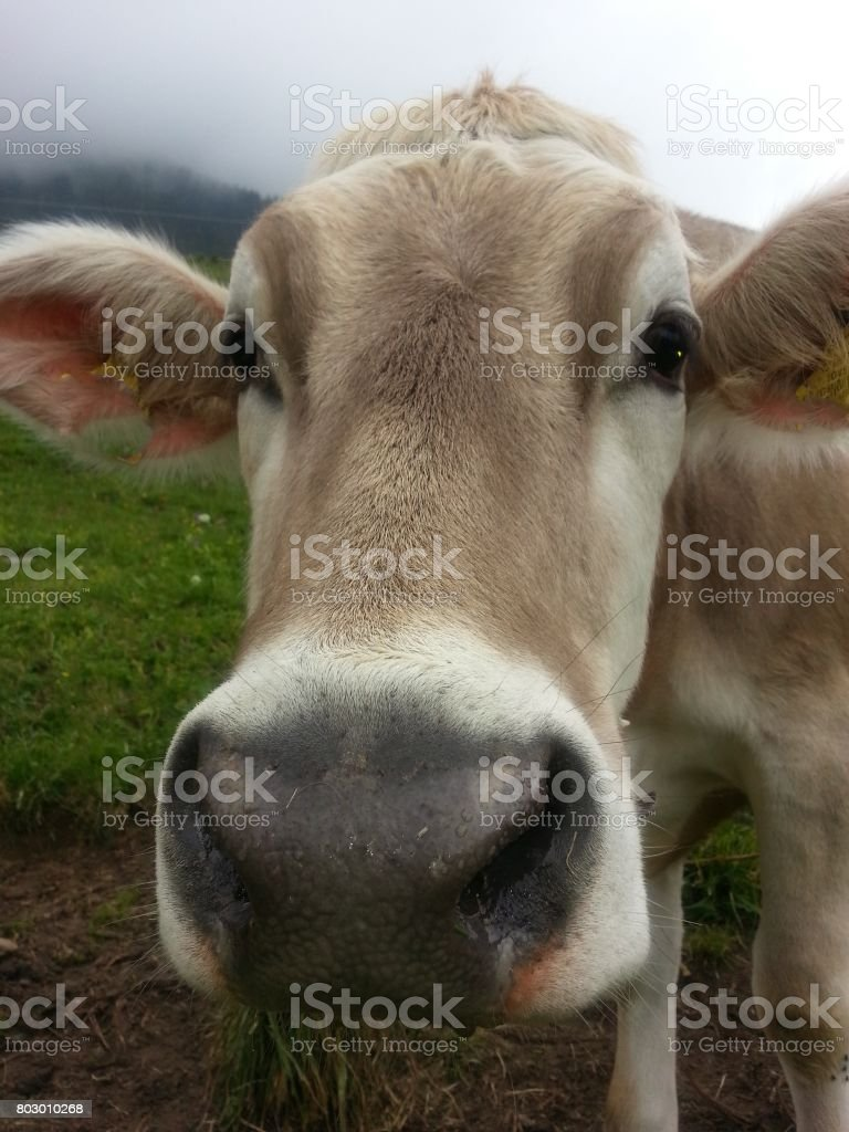 The Swiss Cow stock photo