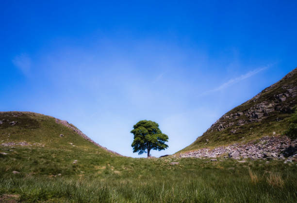 The Sycamore Gap tree located along Hadrian's Wall in Northumberland