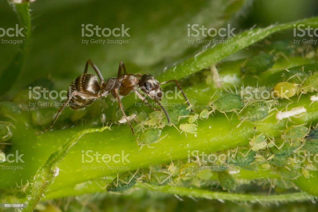 The symbiosis of ants and aphids. Ant tending his flock. Green background stock photo