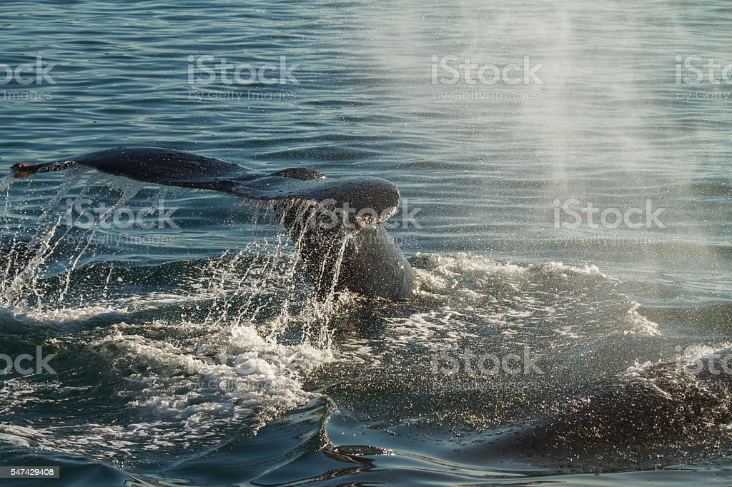 The Tail of a Humpback Whale When Diving stock photo