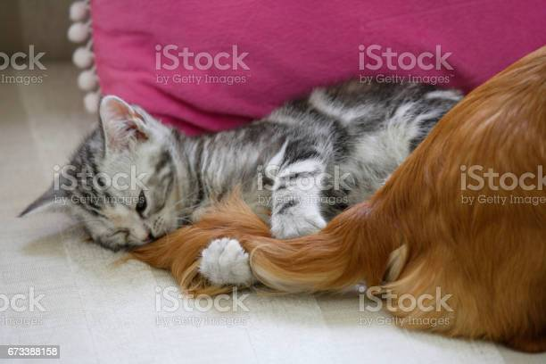 The tail of the dog and american shorthair picture id673388158?b=1&k=6&m=673388158&s=612x612&h=ftmz45ueglet0u mts4dwvpija6gyt7isqtddt9jzpa=