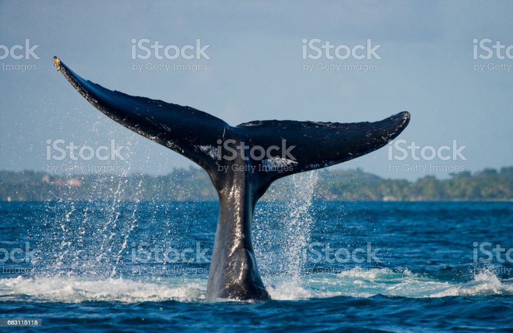 La cola de la ballena jorobada. - foto de stock