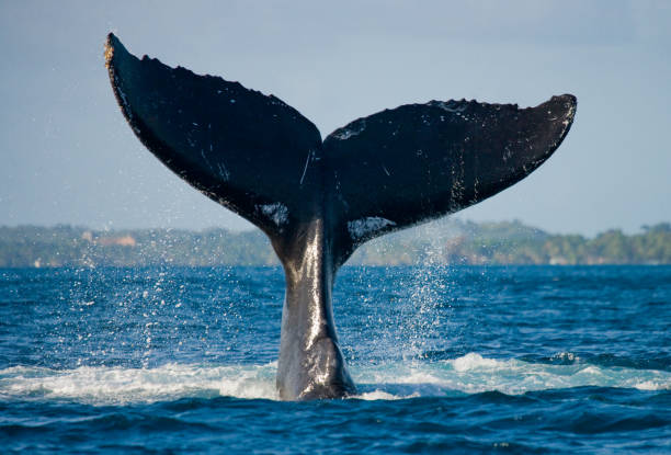 The tail of the humpback whale. The tail of the humpback whale. Madagascar. St. Mary's Island. An excellent illustration. whale stock pictures, royalty-free photos & images