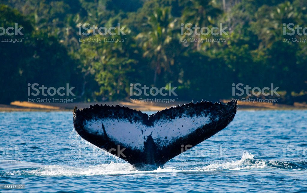 The tail of the humpback whale. - foto de stock
