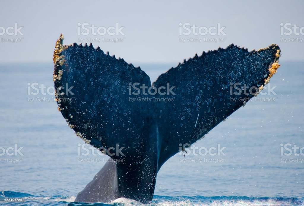 The tail of the humpback whale. 免版稅 stock photo