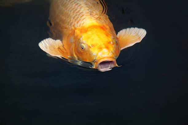 the talking fish - one animal stock photos and pictures