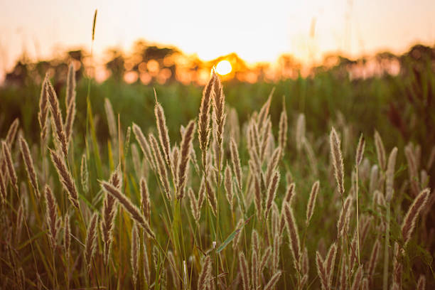 The Tall Grass of Madisonville stock photo