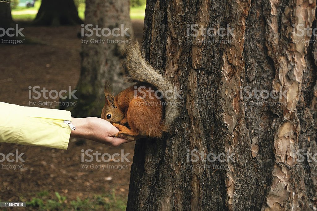 The tamed squirrel eats from hands royalty-free stock photo