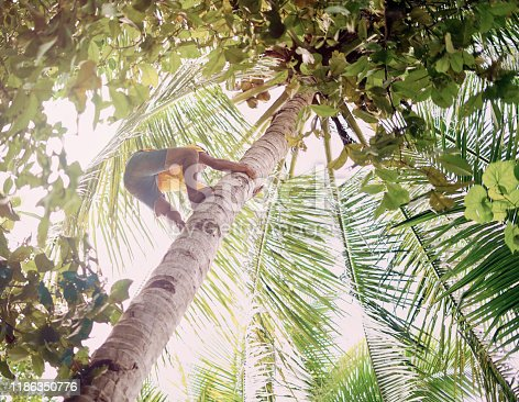 Low angle shot of a young man climbing up a coconut palm tree in Raja Ampat, Indonesia