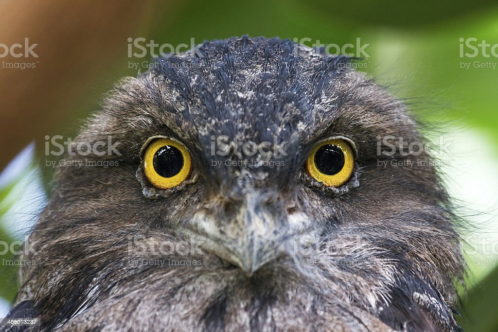 The Tawny Frogmouth portrait stock photo