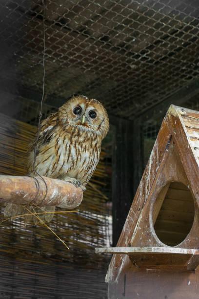 le hibou fauve (strix aluco) dans la volière. - cage animal nuit photos et images de collection