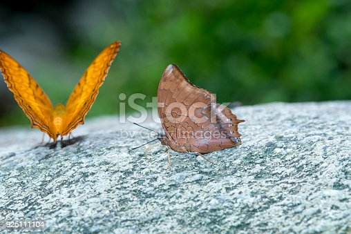 538988558istockphoto The Tawny Rajah butterfly 925111104