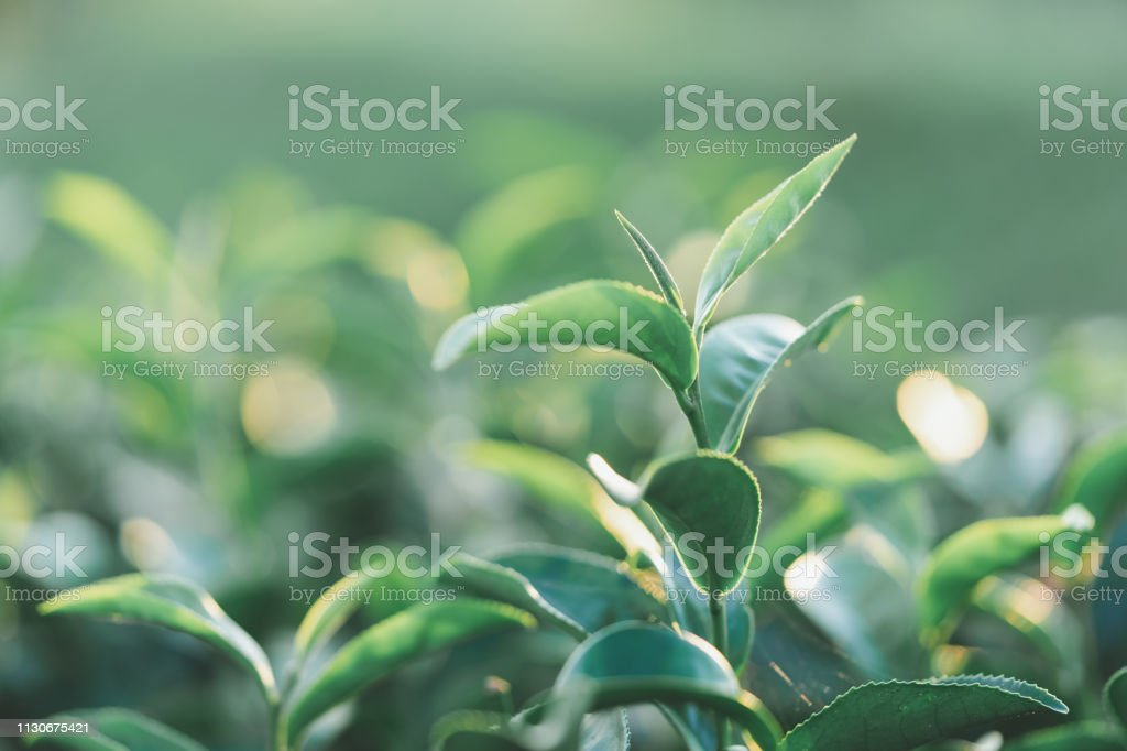 The tea leaves grow in the middle of the tea plantation. the new...