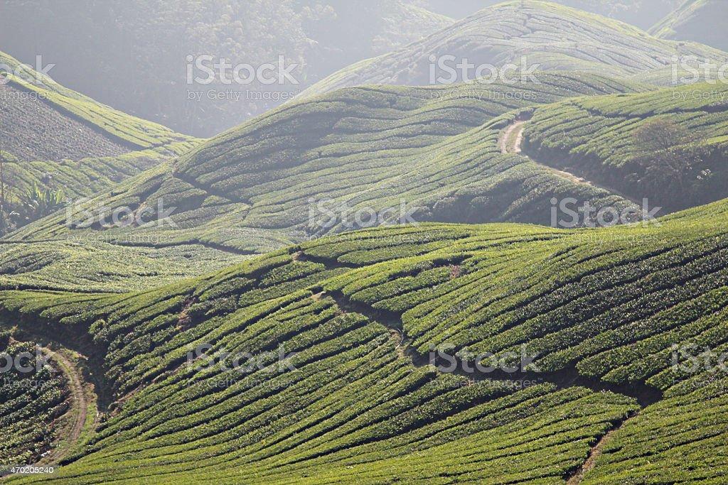 The Tea Pathway stock photo
