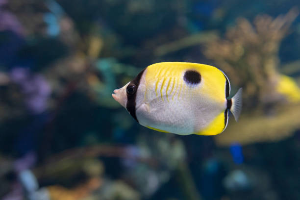 The teardrop butterflyfish (Chaetodon unimaculatus ) - tropical coral fish stock photo
