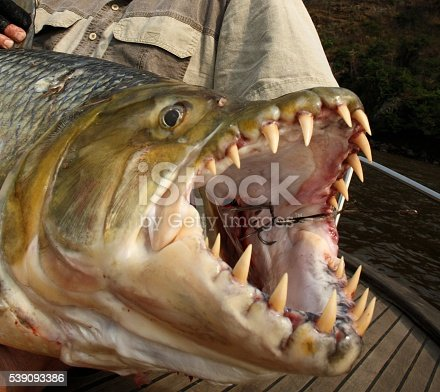 The teeth of goliath tigerfish stock photo more pictures for Tiger fish pictures