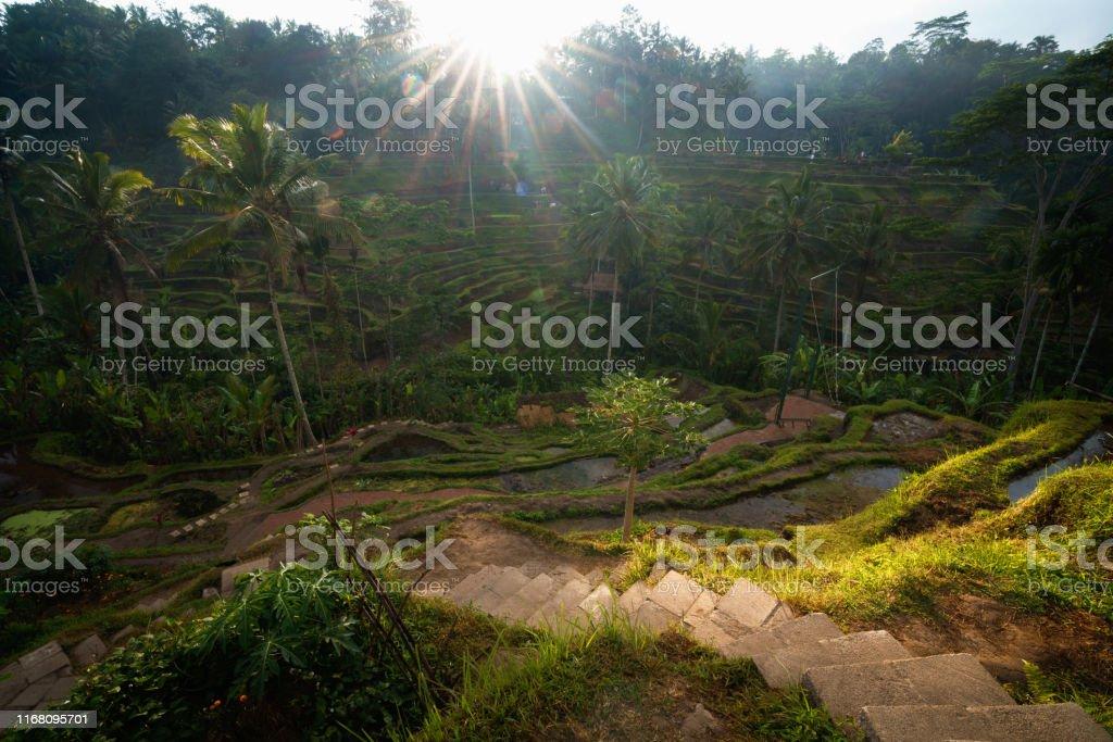 Las Terrazas De Arroz Tegalalang Foto De Stock Y Más Banco