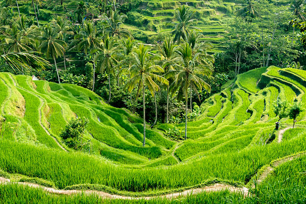 The Tegallalang Rice Terraces in Bali, Indonesia stock photo
