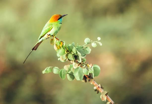 de telelens shoot van de groene bijeneter vogel in de jungle van sri lanka - telelens stockfoto's en -beelden