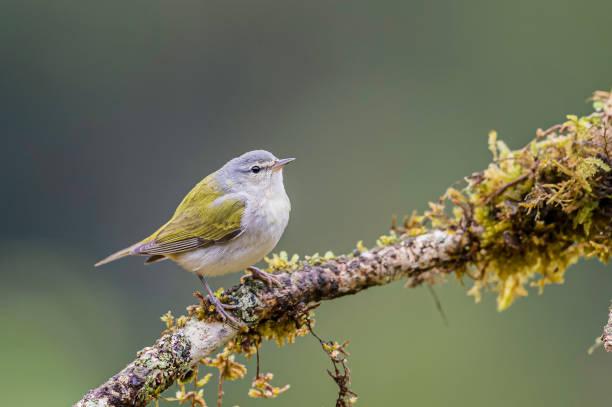 de tennessee warbler (leiothlypis peregrina of oreothlypis peregrina) is een new world warbler in costa rica - amerikaanse zangers stockfoto's en -beelden