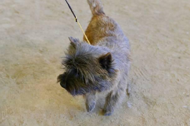 der terrier - sealyham terrier stock-fotos und bilder