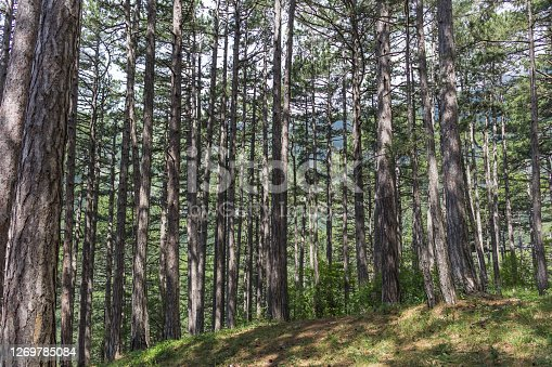 The texture of the forest with long high tree trunks. Beautiful forest background.