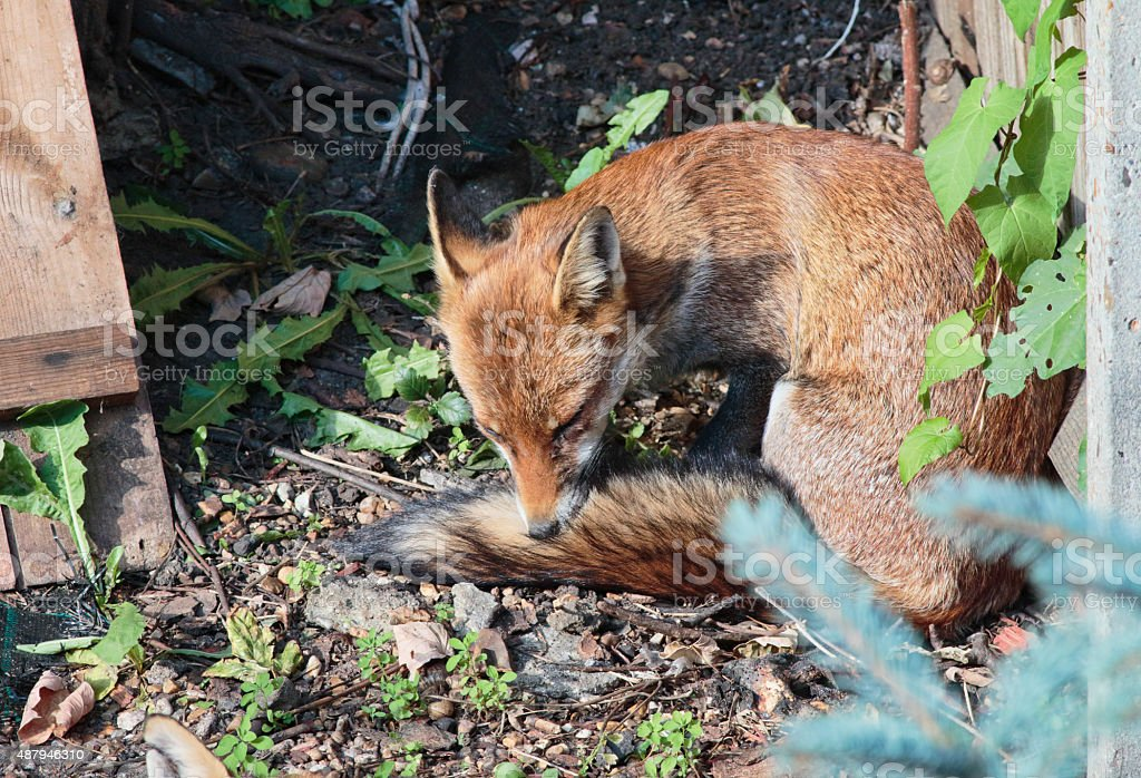 Urban red fox cub and the thing with fleas stock photo