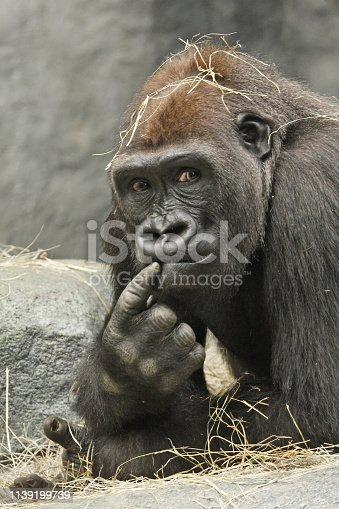 Gorilla with a thoughtful expression