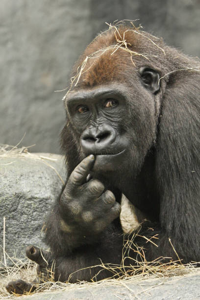 The Thinker Gorilla with a thoughtful expression gorilla stock pictures, royalty-free photos & images