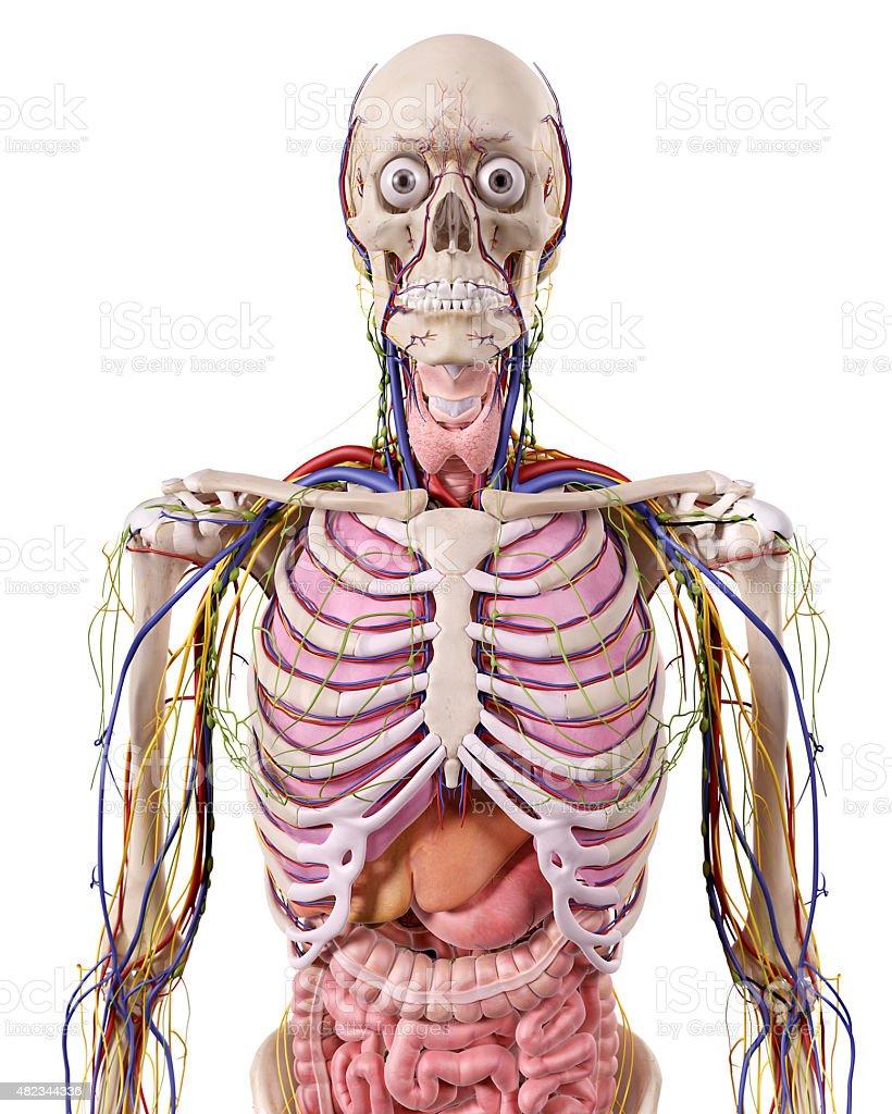 Fotografía de Anatomía El Tórax y más banco de imágenes de 2015   iStock