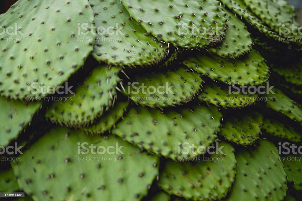 The thorny leaves of the nopal cactus stock photo